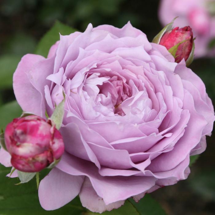 Trandafir Novalis [0]