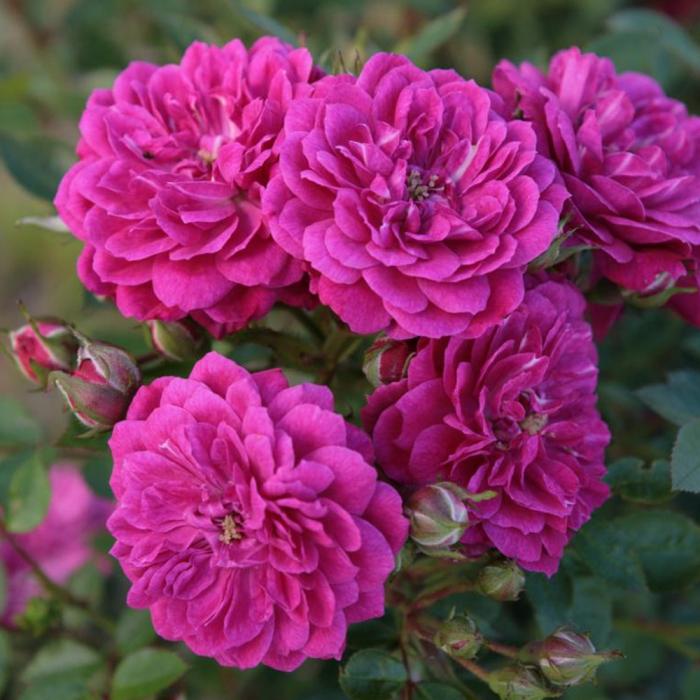 Trandafir Purple Rain 0