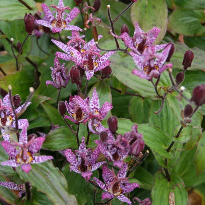Tricyrtis formosa -Purple Beauty 0