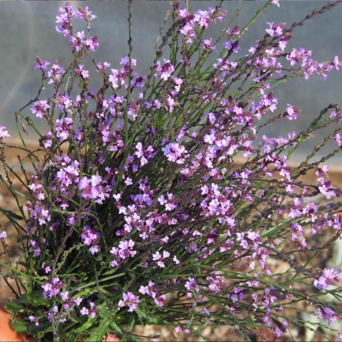 Verbena officinalis-Bampton 0
