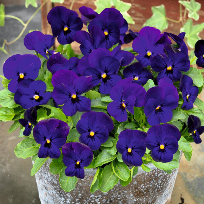 Viola cornuta-Blue Violet [0]