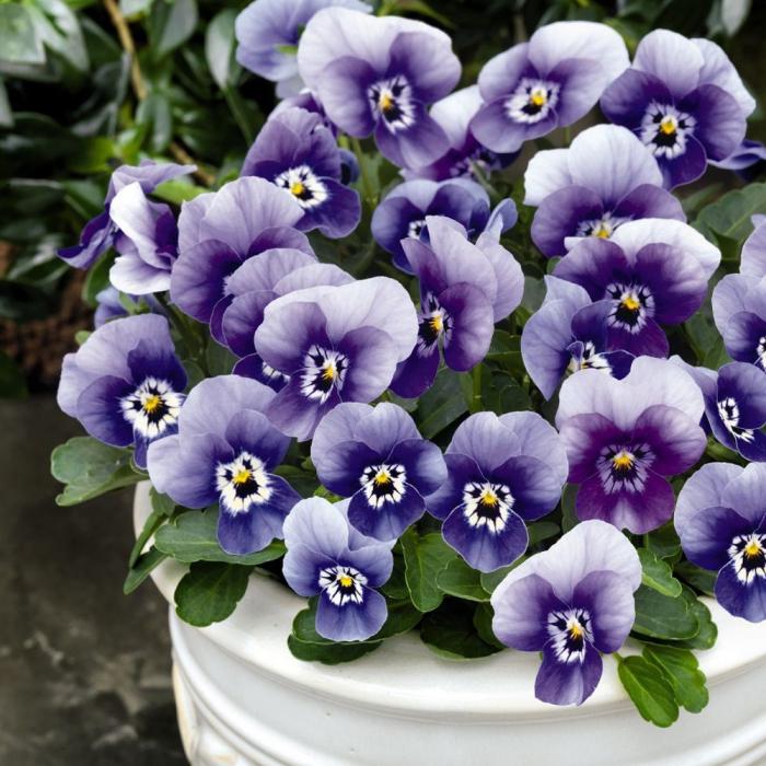 Viola cornuta-Etain si Rebecca [0]