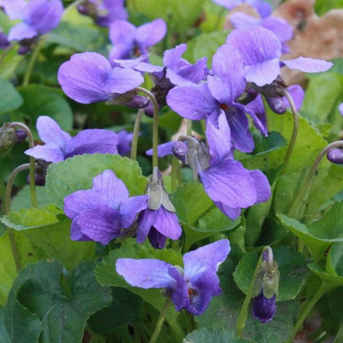 Viola odorata 0