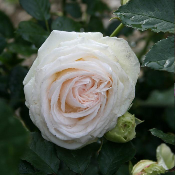 Trandafir White Eden® [0]