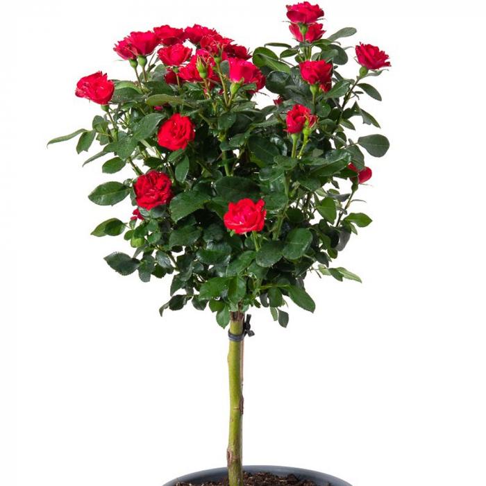 Trandafir Zepeti [0]
