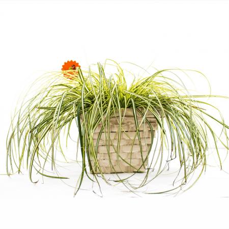 Aranjament floral CAREX OSHIMENSIS1