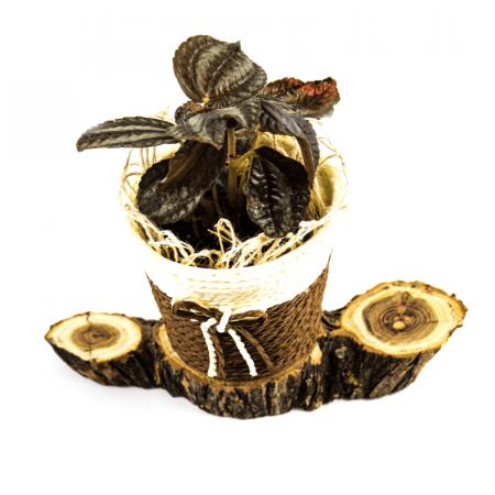 Aranjament floral cu Pilea si postament de salcam [1]