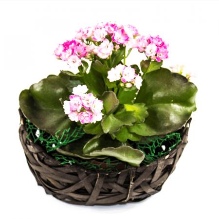 Aranjament floral Kalanchoe0