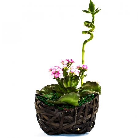 Aranjament floral Kalanchoe  cu bambus norocos1
