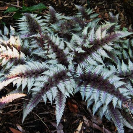 Athyrium niponicum0
