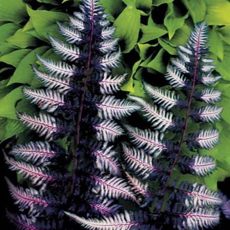 Athyrium niponicum Ursula's Red0