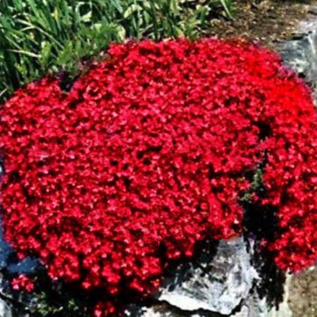 Aubrieta x hybrida red1