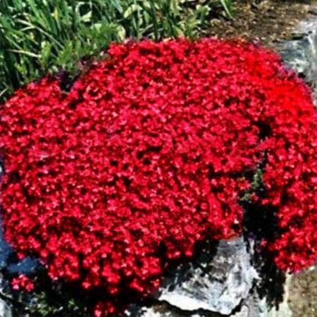 Aubrieta x hybrida red0