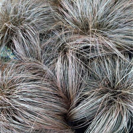 Carex comans0