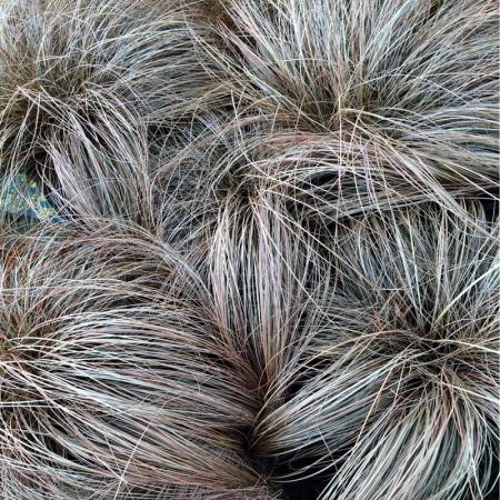 Carex comans1