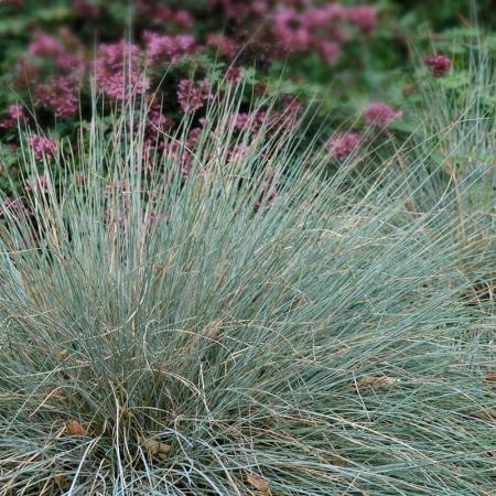 Carex glauca1