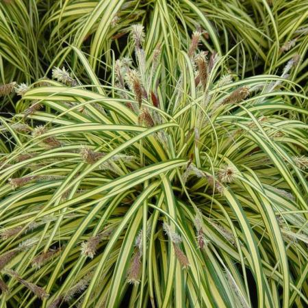 Carex morrowii  Ice Dance1