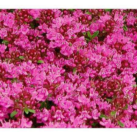 Cimbrisor de camp (Thymus serpyllum)1