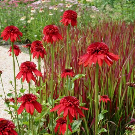 Echinacea Eccentric (Echinacea hybrida Eccentric)0
