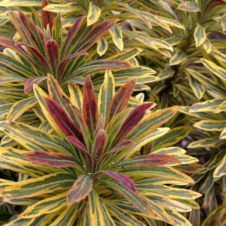 Euphorbia xmartinii Ascot Rainbow0