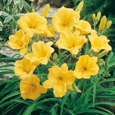 Hemerocallis hybrida Stella De Oro0