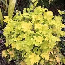 Heuchera hybrida LimeRuffles0