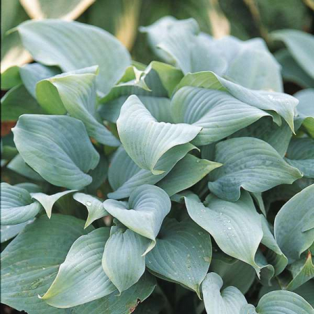 Hosta Fragrant Blue1