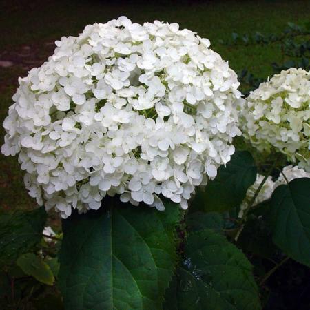 Hydrangea arborescens Annabelle0