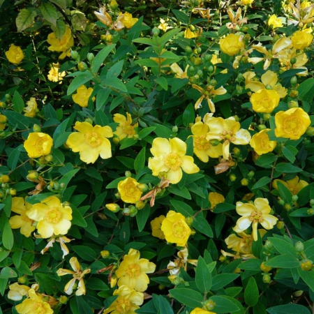 Hypericum calycinum Rose of Sharon0