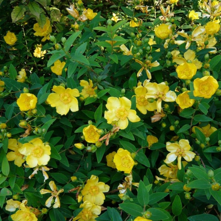 Hypericum calycinum Rose of Sharon1