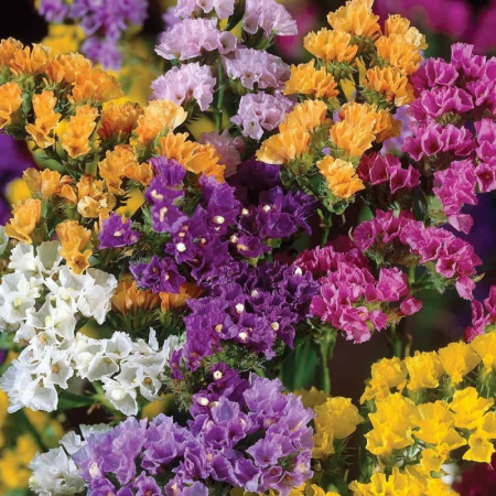 Iris pumila1