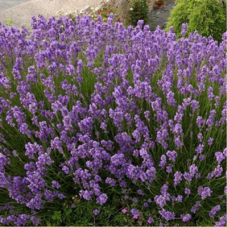 Lavandula angustifolia Hidcote Blue0