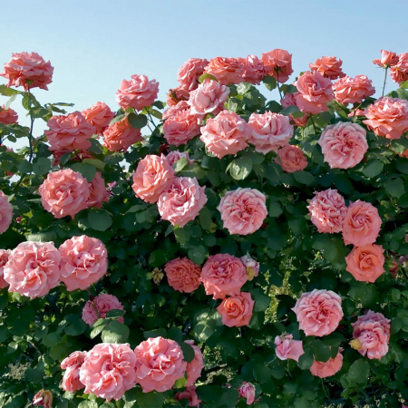 Trandafir Meilland Laguna1