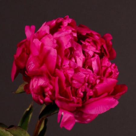 Paeonia lactiflora Bunker Hill1