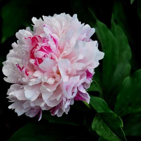 Paeonia lactiflora Charles White0