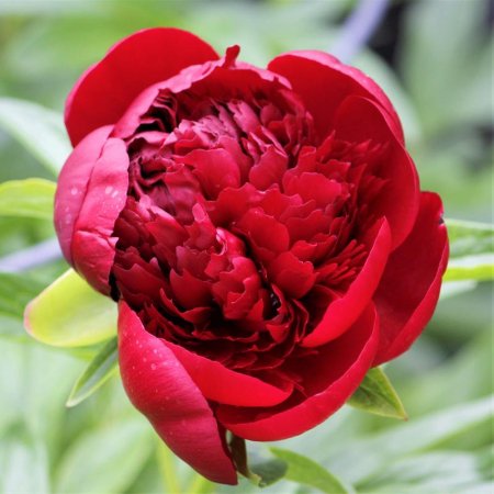 Paeonia lactiflora Red Charm1