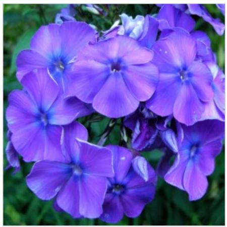 Phlox paniculata Blue Flame0