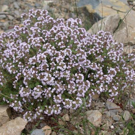 Thymus vulgaris0