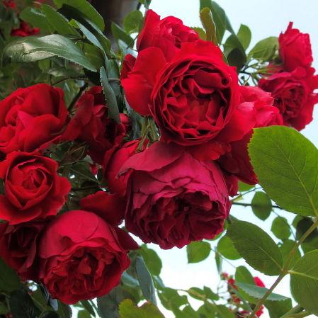 Trandafir catarator Florentina® 250 cm [2]