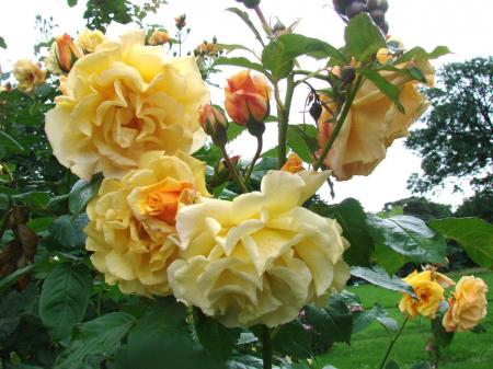 Trandafir Postillon® 2.5 metri [1]
