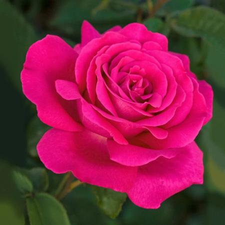 Trandafir Velasquez [0]