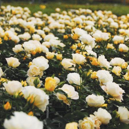 Trandafiri Popcorn®0