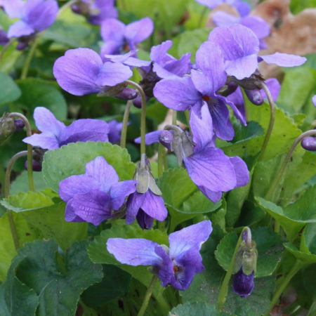 Viola odorata1