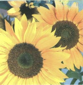 Şerveţel floarea soarelui0