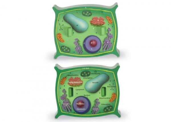 Sectiunea celulei plantei 1
