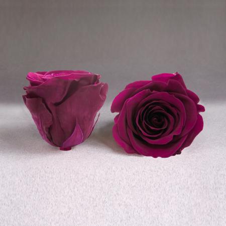 Fir de trandafir criogenat ciclam0