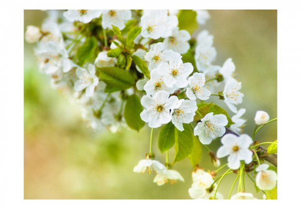Fototapet - Beautiful delicate cherry blossoms 3