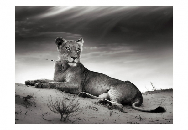 Fototapet - Black and white lioness 3