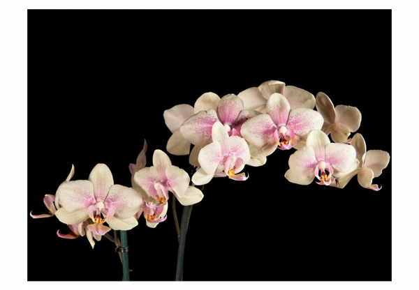 Fototapet - Blooming orchid 3