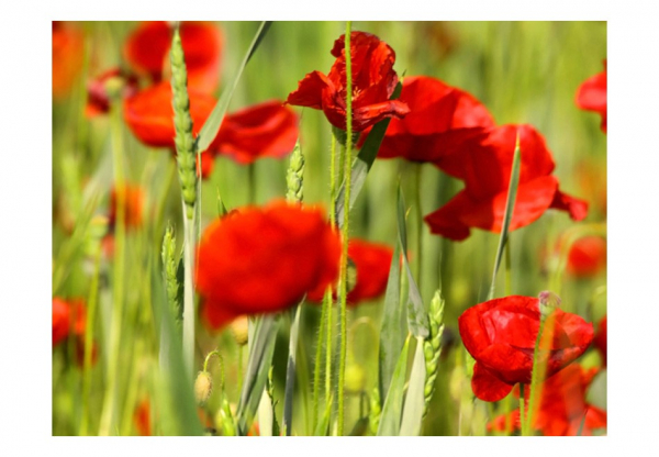 Fototapet - Cereal field with poppies 3